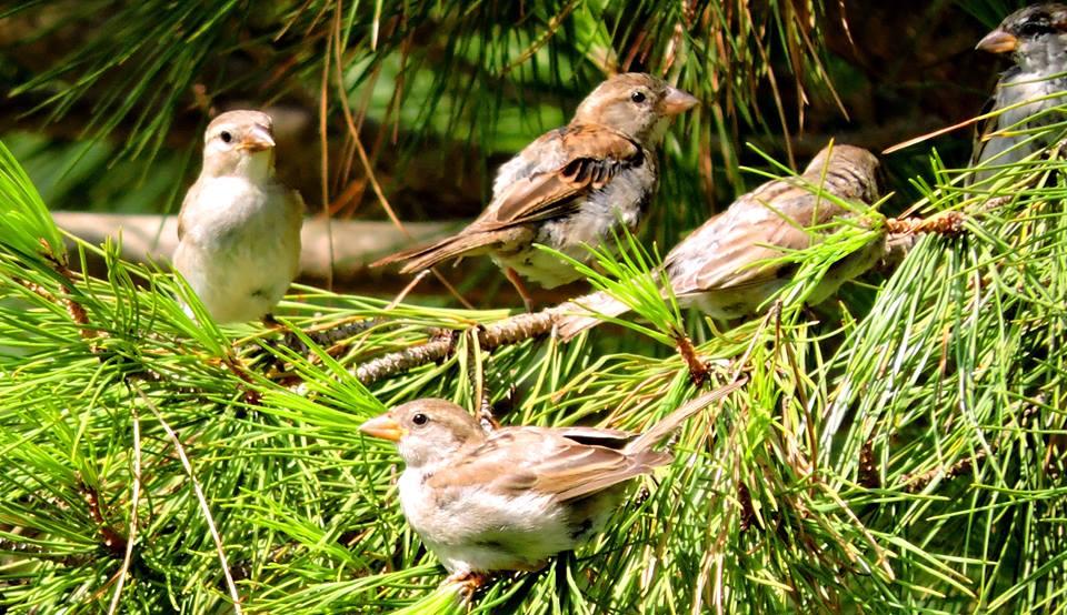 Grupo de gorriones en el Parque del Barrero.
